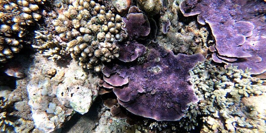coral morado vandeviaje